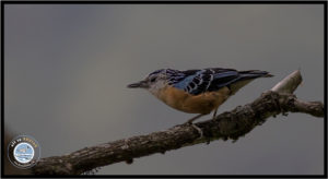 Image of Beautiful Nuthatch