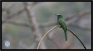 Image of Blue-bearded Bee-eater