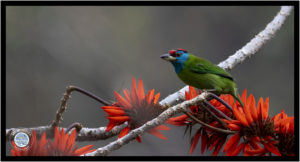 Image of Blue-throated Barbet