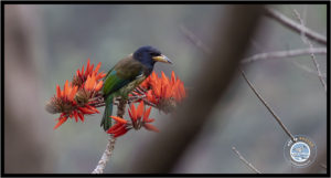 Image of Great Barbet