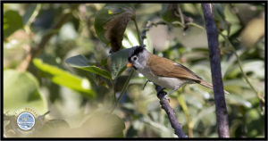 Image of Grey-headed Parrotbill.