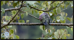 Image of Wedge-tailed Green Pigeon