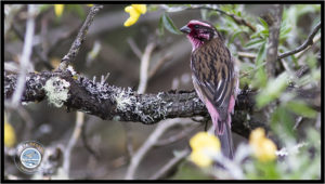Image of White-browed Rosefinch.