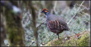 Image of Hill Partridge.