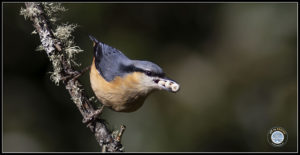 Image of White-tailed Nuthatch.